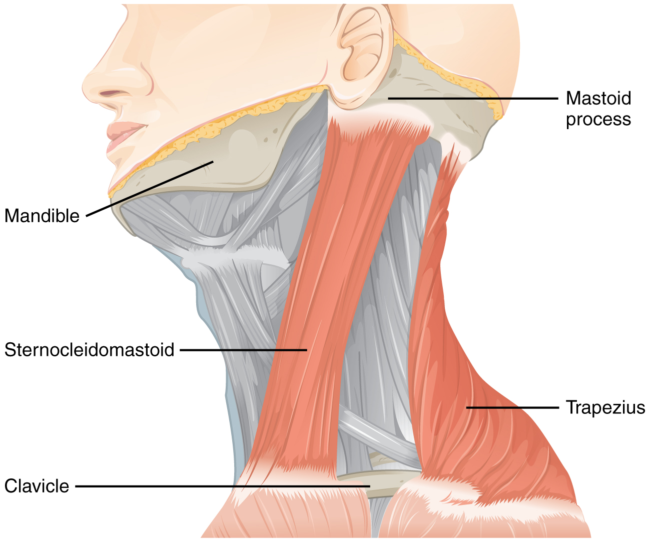 Anatomical locations of the sternocleidomastoid and trapezius muscles (source)