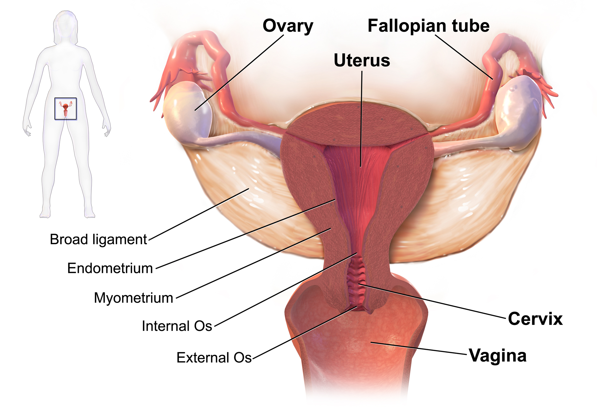 PID can involve any organs of the upper female genital tract (source)