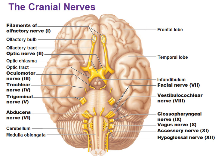A Guide To The Cranial Nerves Stepwards