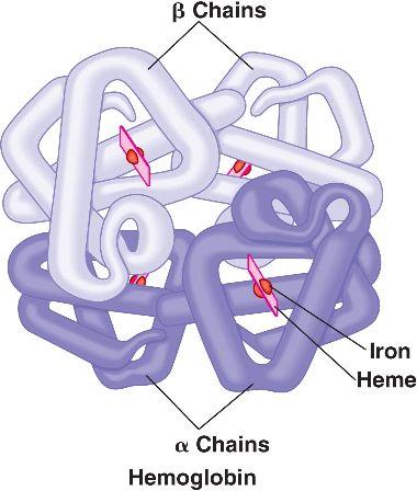 Hemoglobin molecule with alpha and beta globin chains (source)