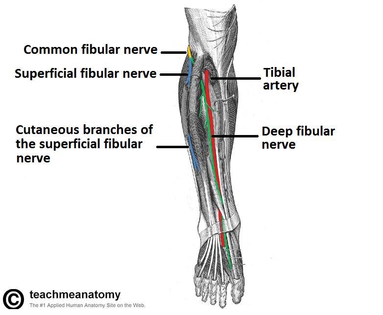 Superficial Peroneal Nerve - Stepwards