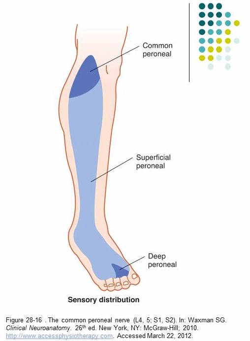 Common Peroneal Nerve - Stepwards