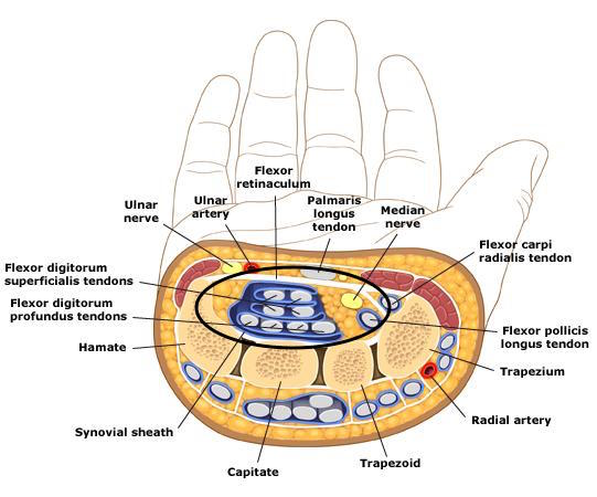 Anatomy of carpal tunnel (circled) and associated structures (source)