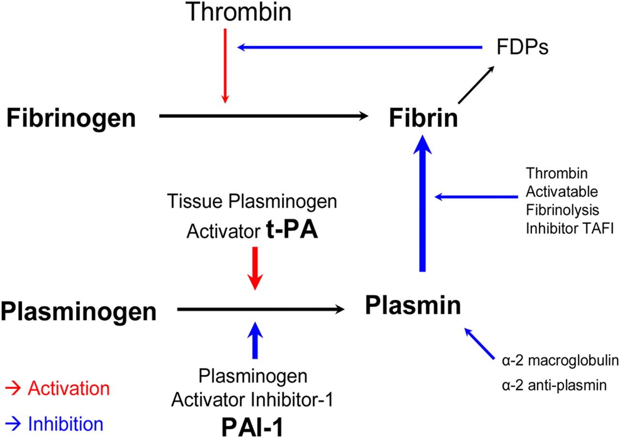 Fibrolysis pathway (source)