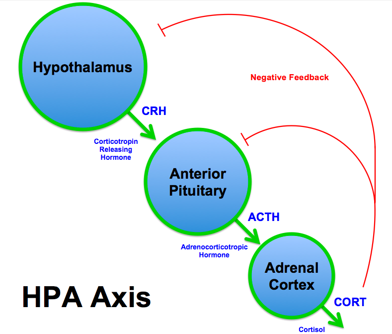 Hypothalamus, pituitary, adrenal (HPA) axis relevant for Addison disease (source)