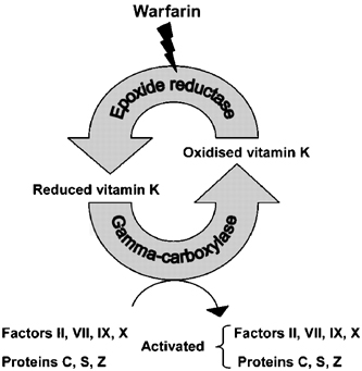 General mechanism of vitamin K's role in coagulation factor synthesis. Note warfarin antagonizes epoxide reductase (source)