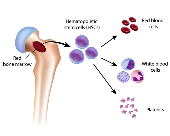Normal function of the red bone marrow (source)