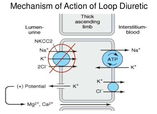 Loop diuretics antagonize the NKCC2 transporter in the thick limb of Henle in the nephron (source)