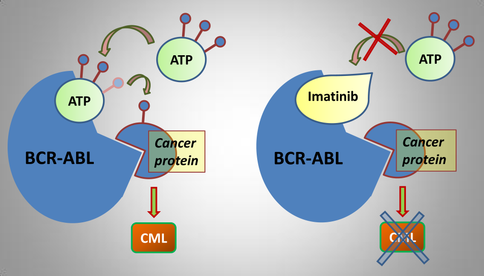 Imatinib directly binds BCR-ABL inhibiting it from performing the downstream signaling responsible for CML (source)