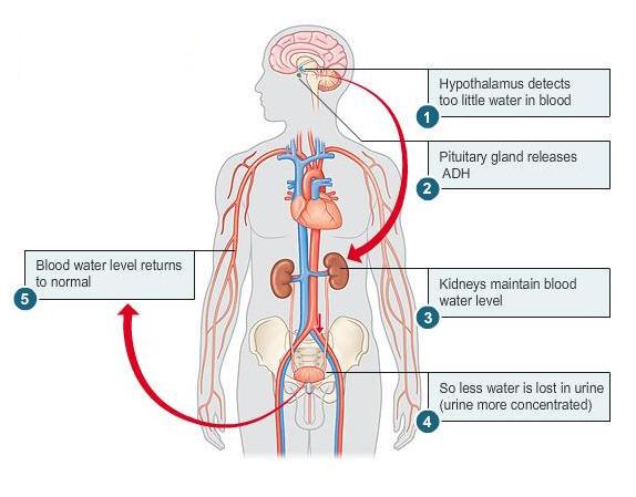 Simplified pathophysiology of ADH signaling (source)