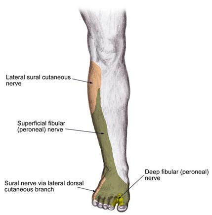 Superficial Peroneal Nerve Stepwards