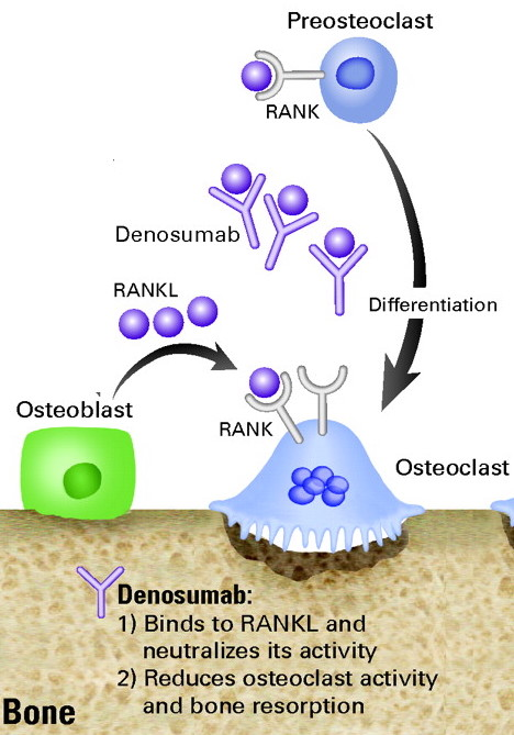 Mechanism of action of denosumab (source)