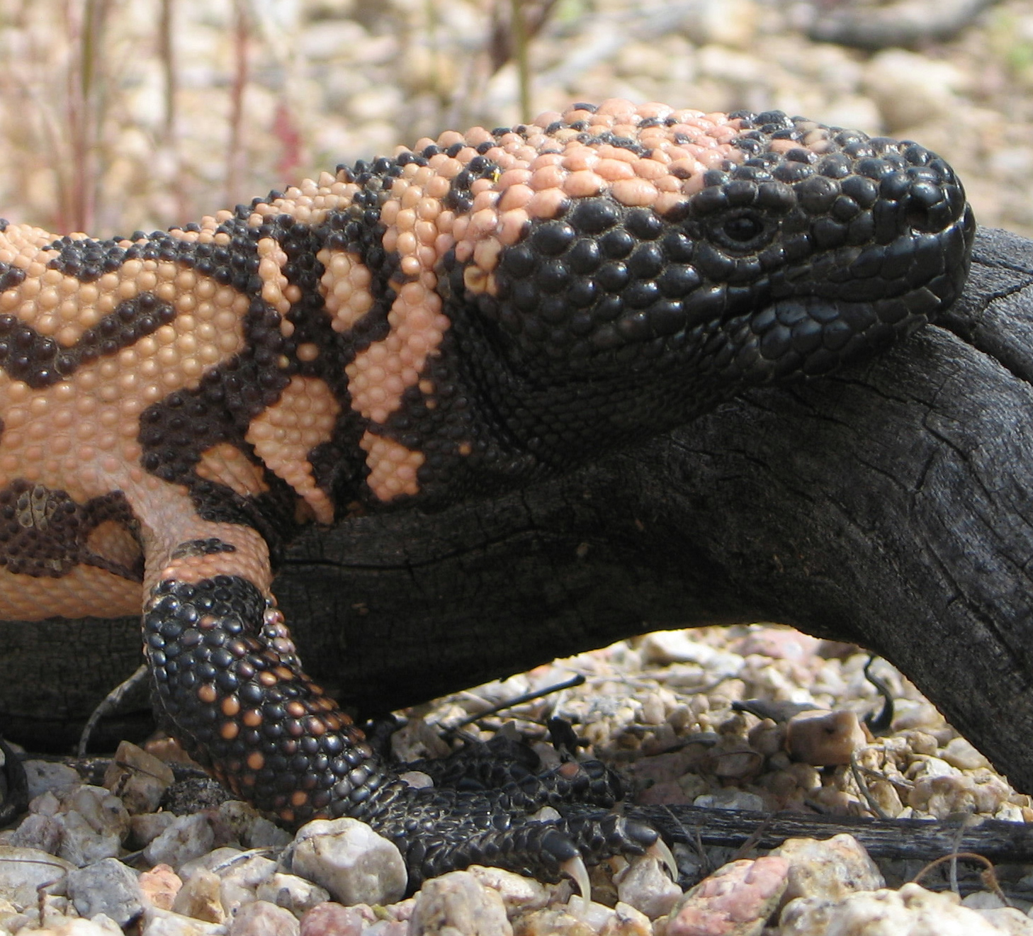 Visual appearance of the Gila monster (source)