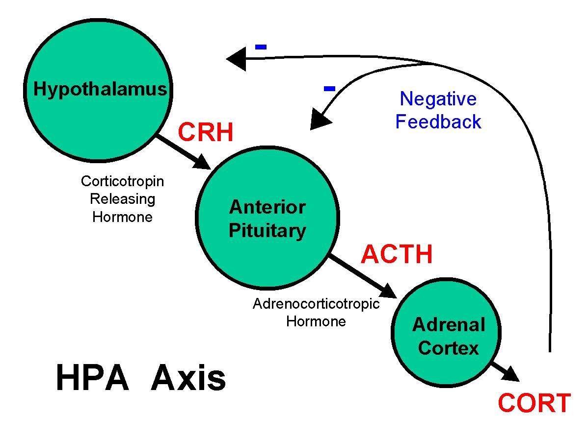 Cortisol Hormone Axis