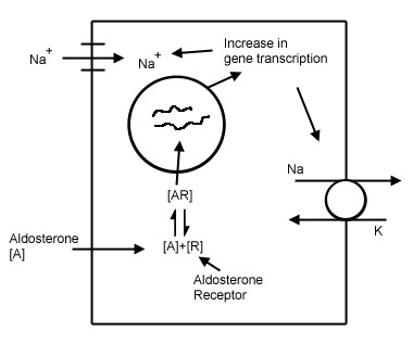 Mechanism of action of aldosterone in the distal nephron (source)