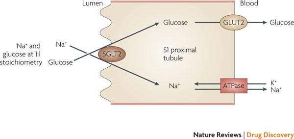 Molecular function of SGLT-2 (source)