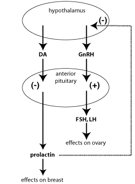 Prolactin and dopamine singling pathway (source)