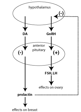 Simplified endocrine pathway of prolactin (source)