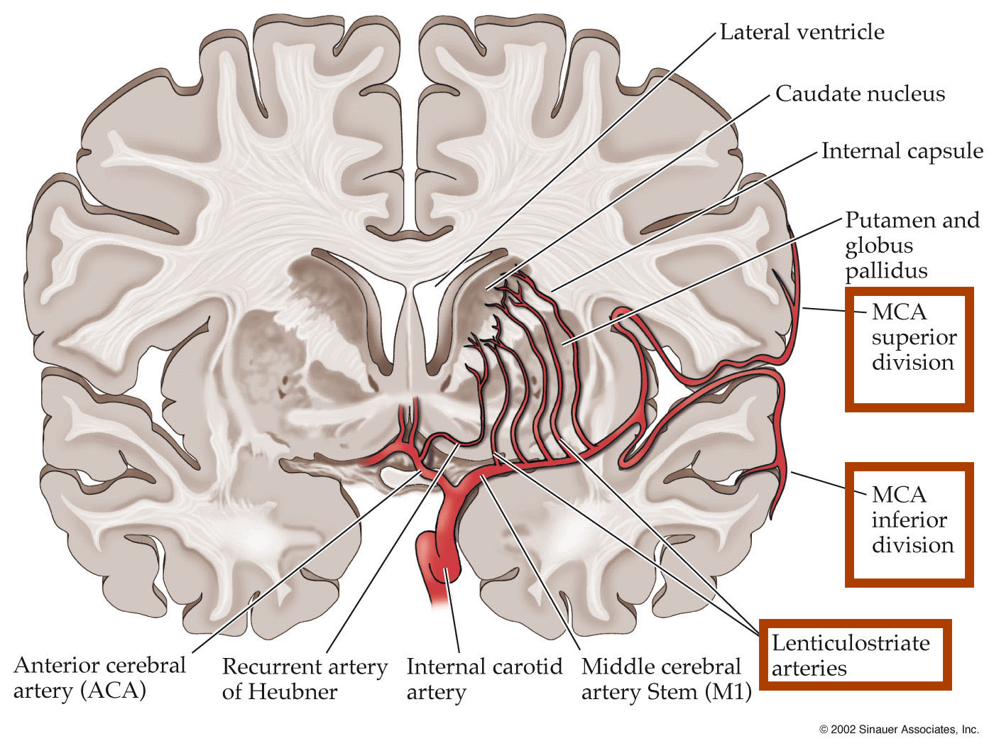 Middle cerebral artery anatomy