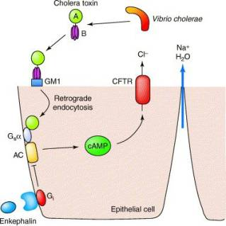 Mechanism of action of cholera toxin (source)