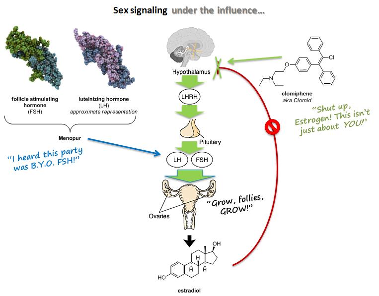 Humorous representation of clomiphene mechanism in reproductive signaling (source)