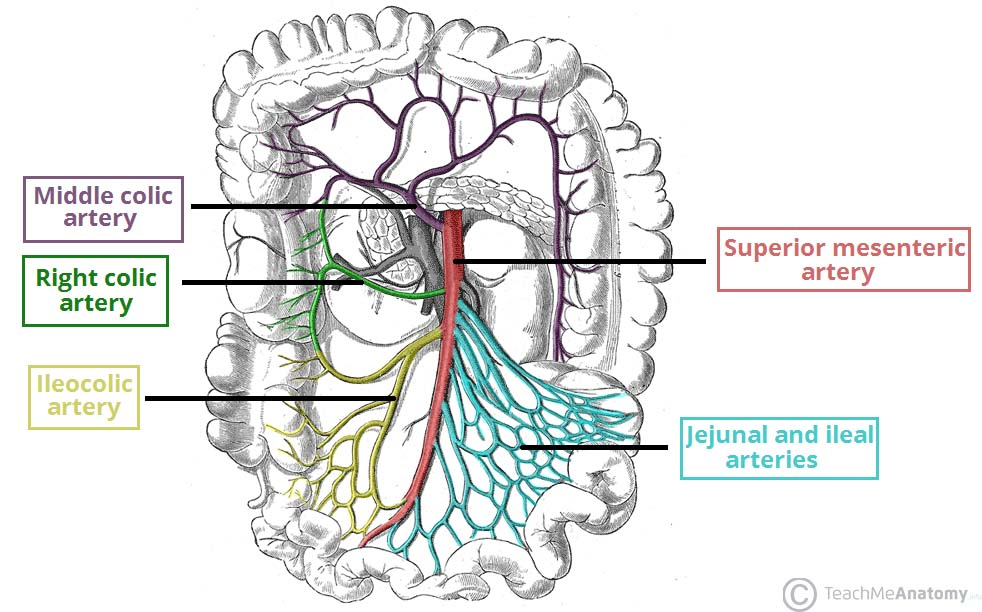 The superior mesenteric artery, and its important branches (source)