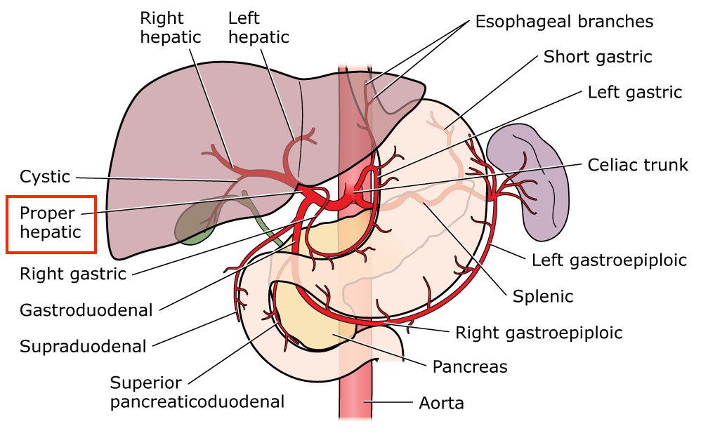 List Of Synonyms And Antonyms Of The Word Hepatic Arteries