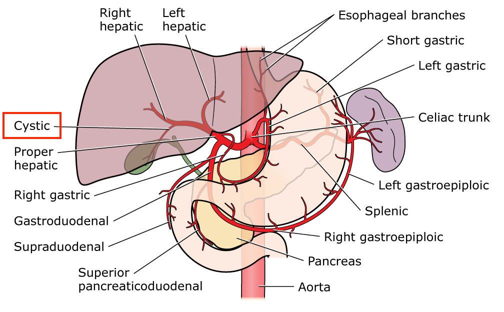 Right hepatic artery anatomy