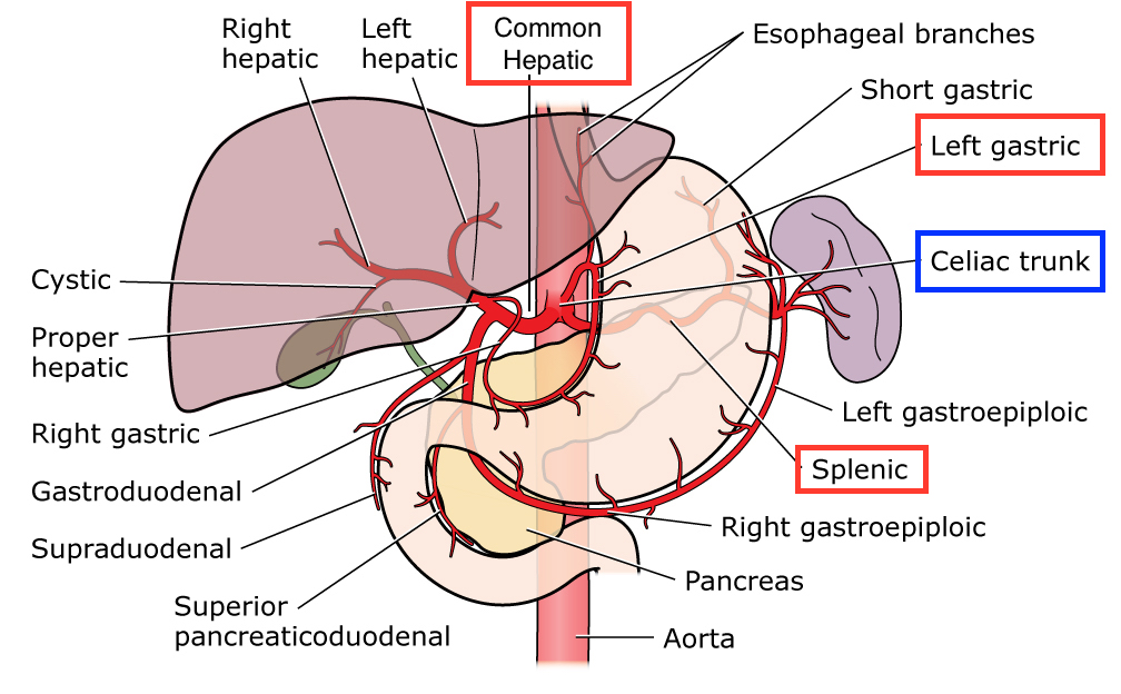 Anatomy and major branches of the coeliac artery (source)