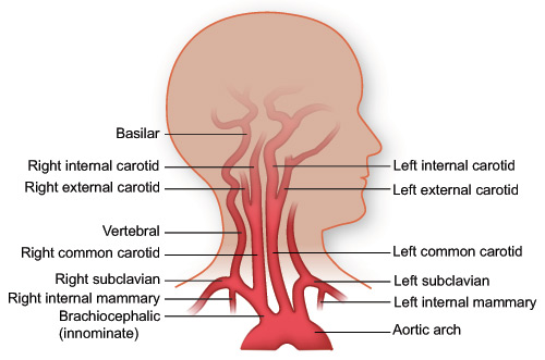 Important arteries of the neck (source)
