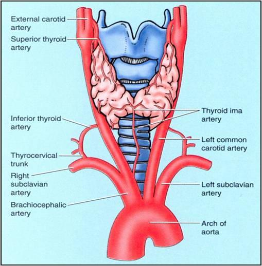 Arterial supply to the thyroid (source)