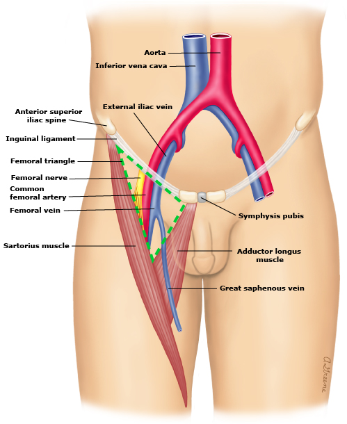 Common Femoral Artery Stepwards