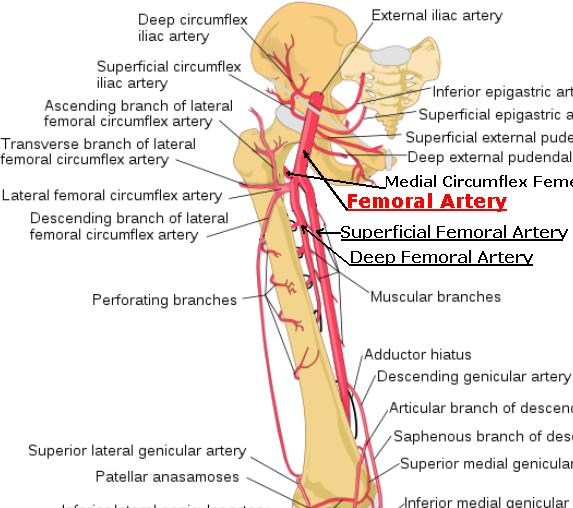 Superficial Femoral Artery - Stepwards