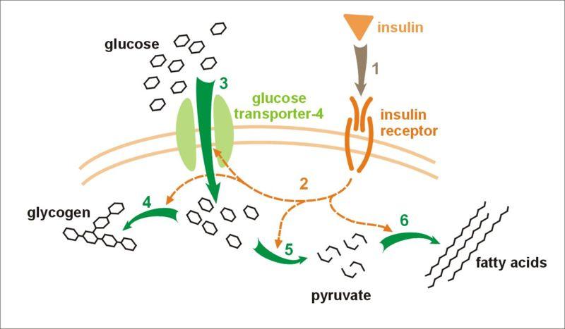 General mechanism of action of insulin (source)