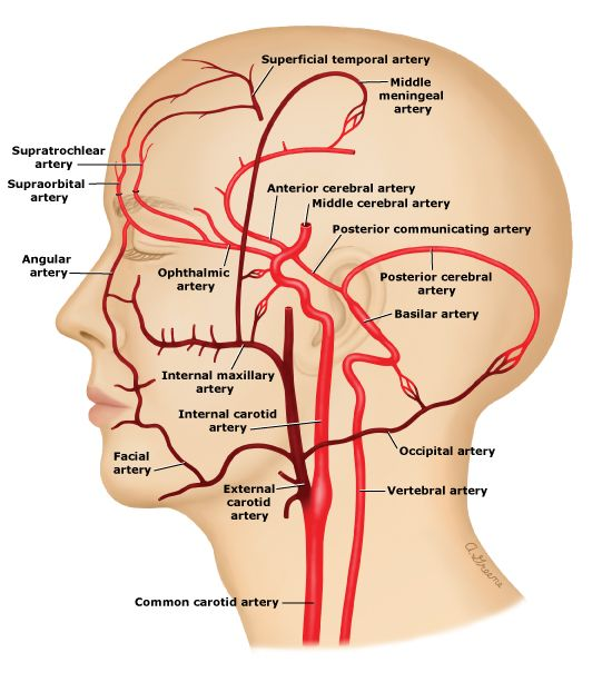 Anatomical location of the external carotid artery (source)