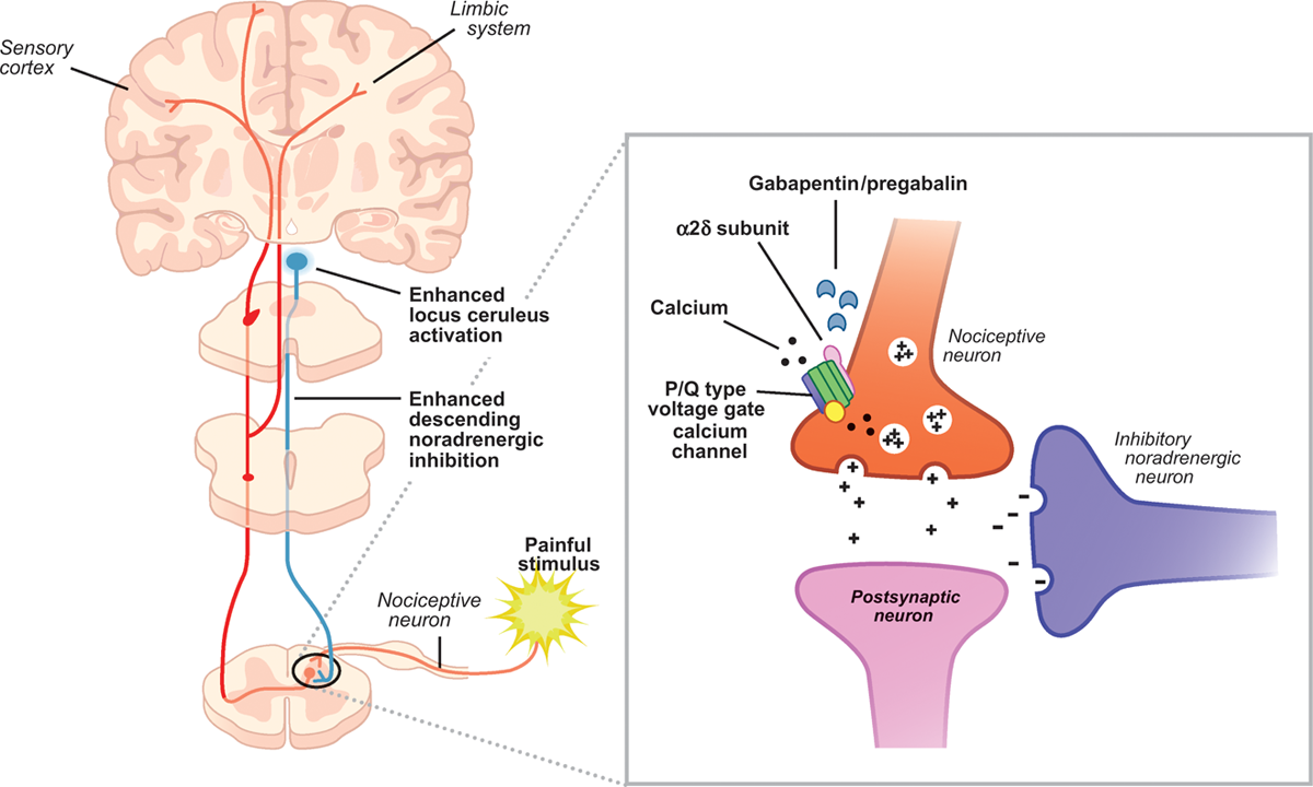 Gabapentin mechanism of action. Inhibition of calcium channels will antagonize neural signaling and decrease impact of painful stimuli on the body (source)