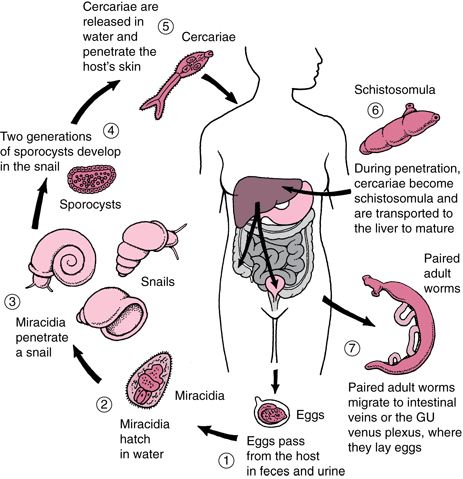 Spread of the schisto parasite within the human host (source)