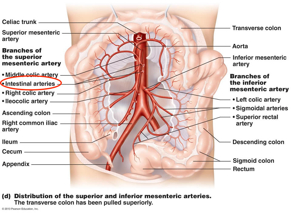 Anatomical location of the intestinal arteries (source)