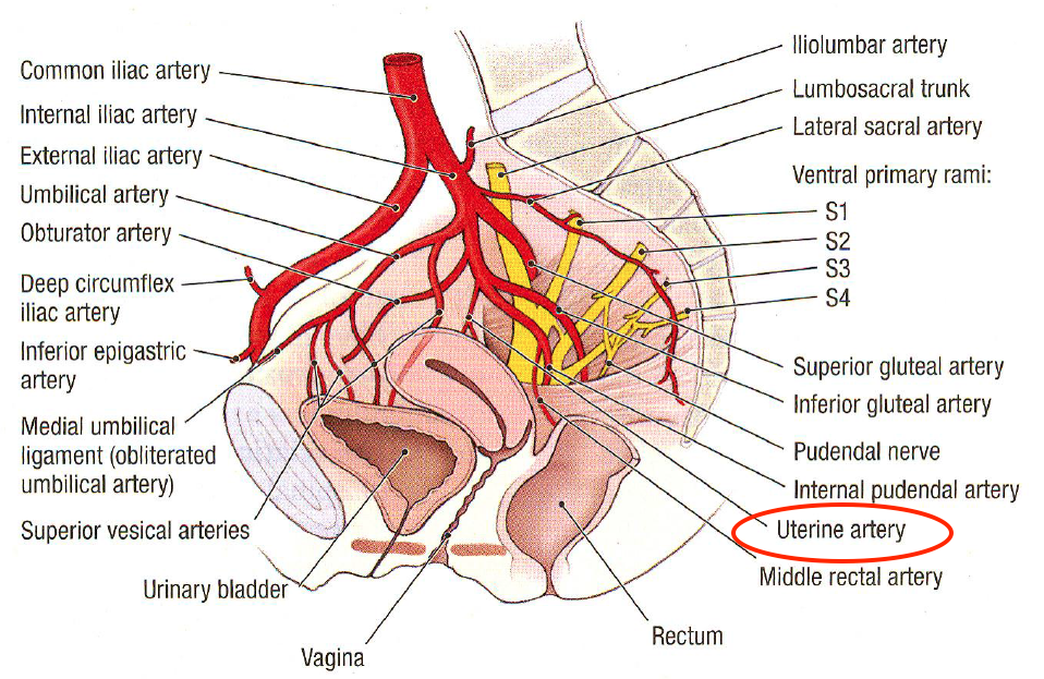 Uterine Artery - Stepwards