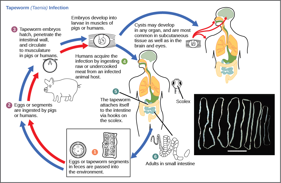 Life cycle of the tapeworm (source)