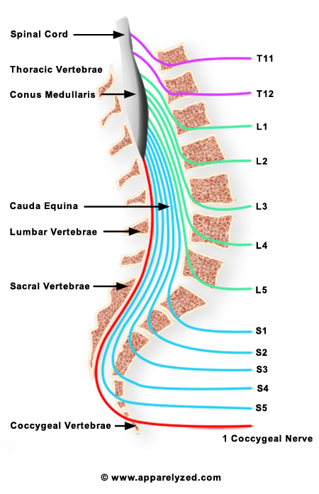 Anatomical location of the caudal equina (source)