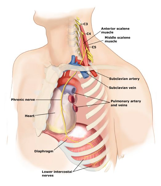 Anatomical location and path of the phrenic nerve (source)