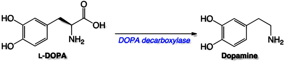 L-dopa is a dopamine precursor that can be converted in the CNS to dopamine (source)