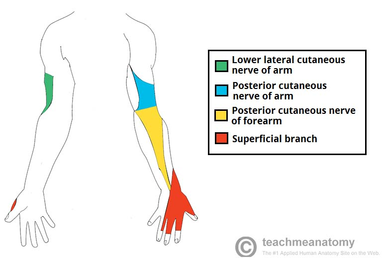 Sensory innervation of the arm by the radial nerve (source)