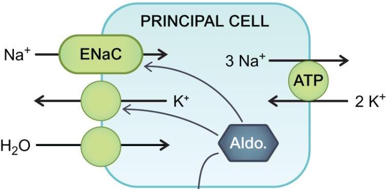While the details of renal electrolyte balance can become more convoluted then the nephron tubules themselves, it is important to not allow these details to cloud our comprehension! Fundamentally it is the ENaC channel that plays a huge role in promoting the renal excretion of potassium out of the body (source)