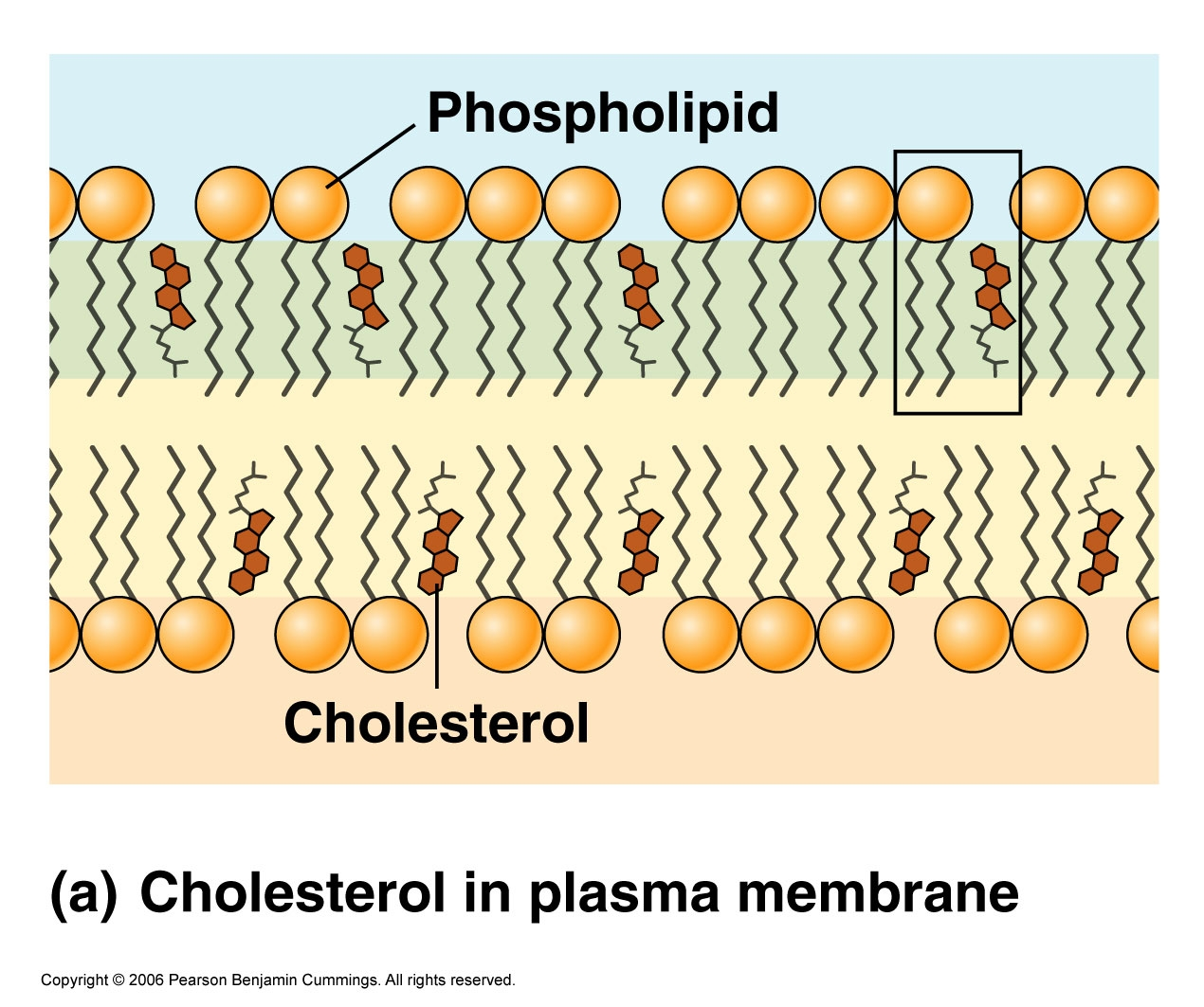 Cholesterol is an essential component of human cell membranes (source)