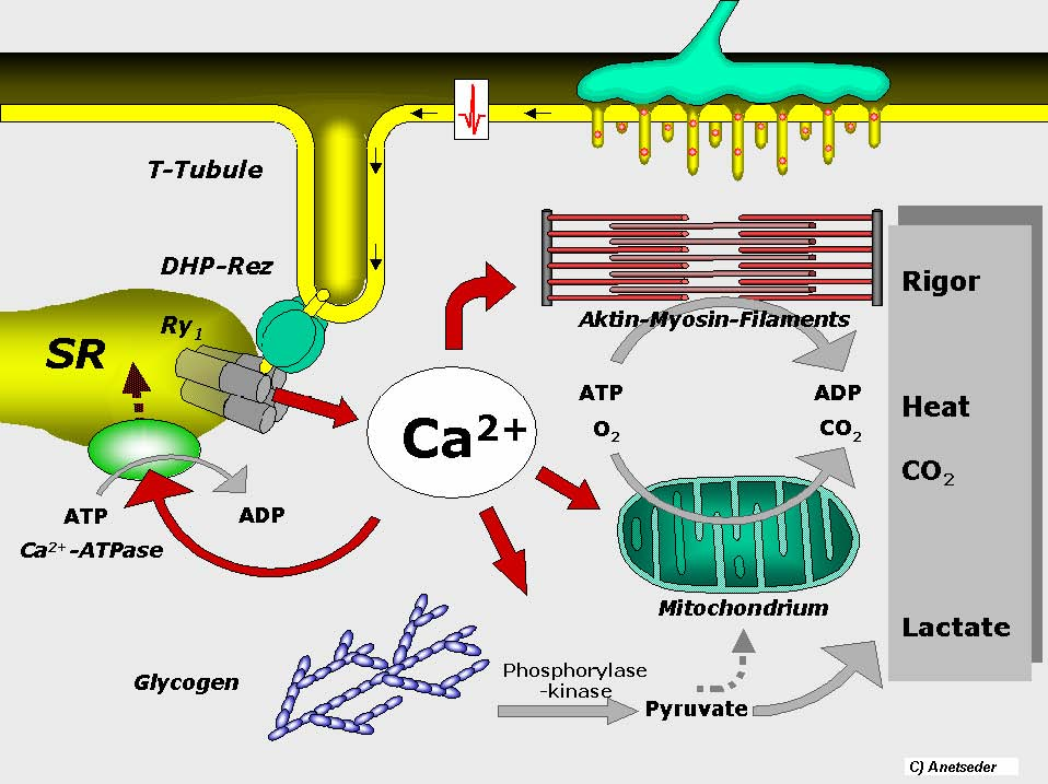Increased ATP consumption by the muscles is ultimately the cause of malignant hyperthermia (source)