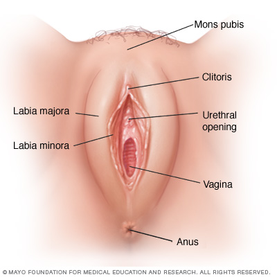 vulva – stepwards, Human body