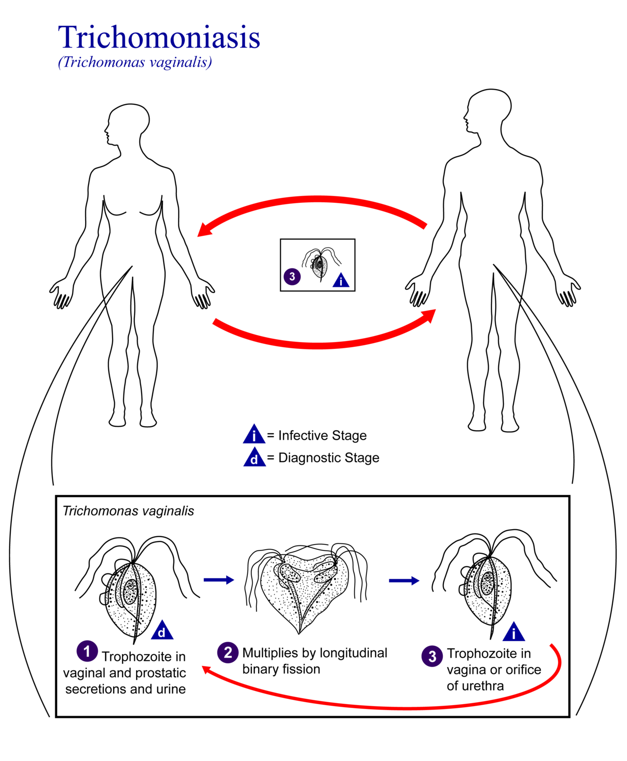Life cycle of Trichomonas vaginalis (source)