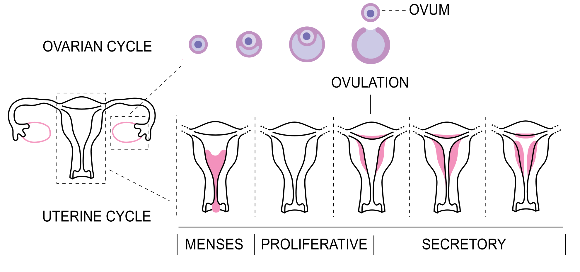 Changes in endometrium during the menstrual cycle.